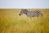 what is the most common zebra?