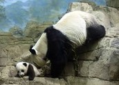 Giant Pandas at the National Zoo
