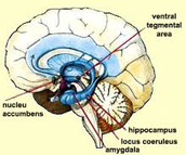 Nucleu Accumbens