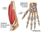 Muscular tissue function