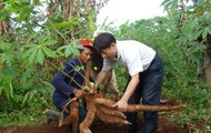 Harvesting cassava roots