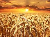 Wheat Feild