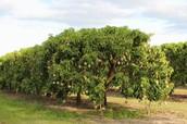 Mangokasvatus Marebaases