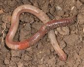 Annelida: Lumbricus terrestris
