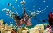Spectacular Stone Fish