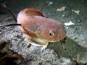 a snailfish