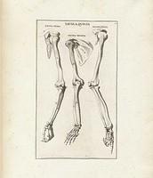 עצמות גפה עליונה אנושית