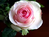 A white rose,