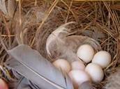 Tree Swallow Bird Eggs