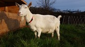 Siskiyou Fields Farm is excited to announce openings in our dairy goat herdshare!