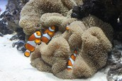 clownfish and anemone(mutualism relationship)