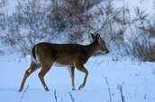 A whitetail deer walking away