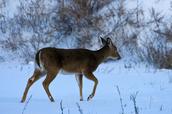 A whitetail deer walking away
