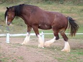 A bay colored clydesdale