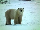 http://environmentalsciencebiomes.weebly.com/tundra.html