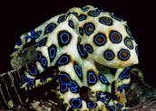 תמנון טבעות כחולות