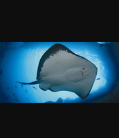 Favorite Organisms - Stingray