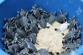http://www.projectaware.org/blog/scuba-junkie/aug-11-13/more-baby-green-turtles-released-our-mabul-turtle-hatchery