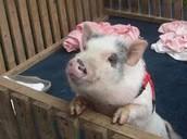 Dorothy Mae (my pig)
