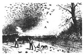 Hunters shooting down Pigeons