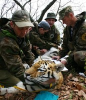 Field staff collects data from juvenile tiger.