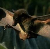 Dawn Bat: Eonycteris spelaea