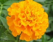 This is a different color of Marigold.