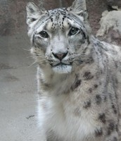 What are some things humans can do to help save the Snow Leopard