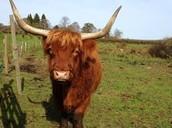 Buy the Ox Cart