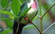 Jambi fruit dove