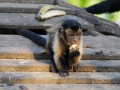 Brown Capuchin Eating