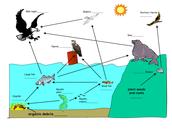 Freshwater Food Chain
