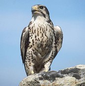 Falcon News