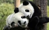Wat is een Panda beer?