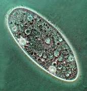 just an simple paramecium
