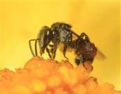 A stingless bee