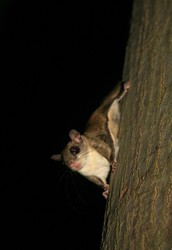 Facts about Flying Squirrels