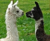 Llamas World