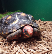 This tortoise is for sale right now!