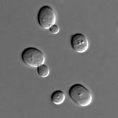 """התהליכים המבוצעים ע""""י התאים או המולקולות המעורבים ביצירת המוצר הביוטכנולוגי הקיים?"""