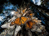 Animal One: Monarch Butterfly
