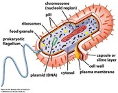 Here Is A Picture Of A Prokaryotic Cell
