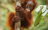 A baby Orangutan and...