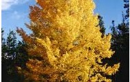 Quaking Aspen; Populus tremuloides
