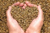 Semillas de Alpiste, aptas para consumo humano