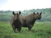 Natural Habitat of Javan Rhino