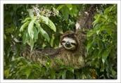 Sloth  a.k.a. Perezoso