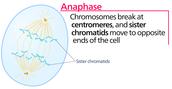 Third phase: Anaphase