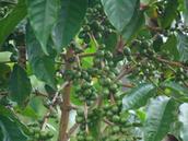 Τα οφέλη του πράσινου καφέ στη  υγεία