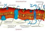 Cell Membrane (Plasma)